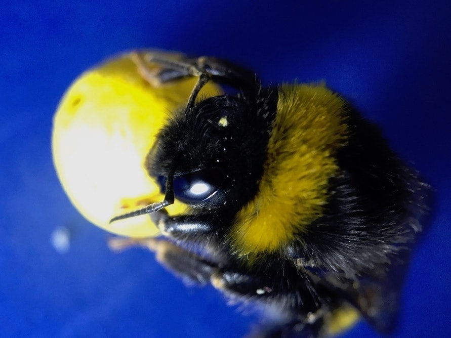We Taught Bees to Play Soccer to Figure Out Their Brain