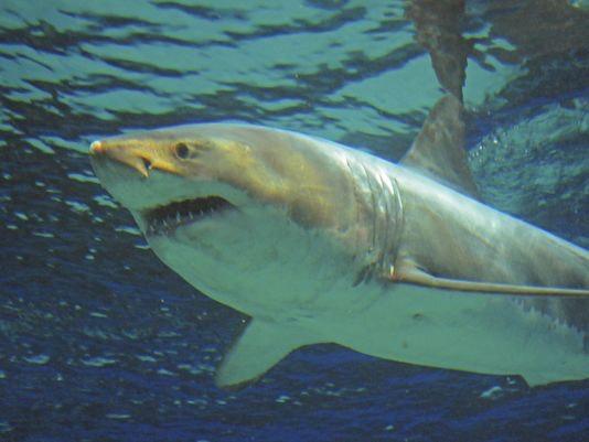 Great white shark sex porn