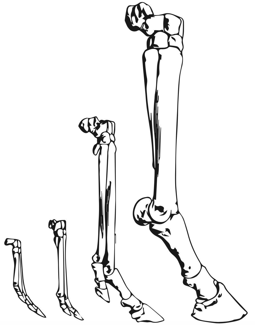 why horses evolved to have only one toe inverse I-Beam Structure
