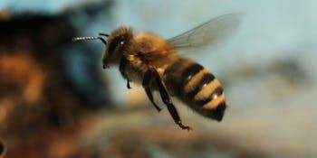 Grade A bees.