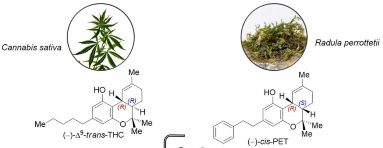 THC (left) is not that different from cis-PET (right), which is found in some species of liverwort.