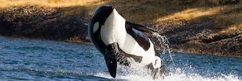 Killer Whale (Resident Orca)