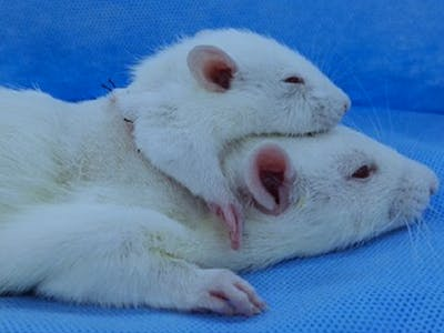 This Double-Headed Rat Is the Future of Head Transplant Science