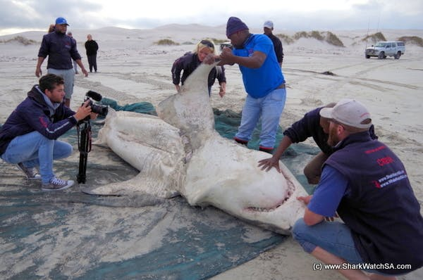 The killer whales dissected this great white shark with surgical precision.