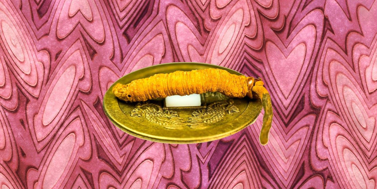 caterpillar fungus, c. sinensis