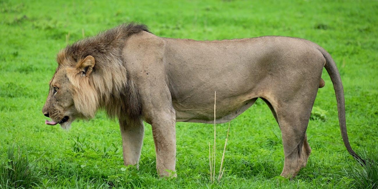Zambian lion