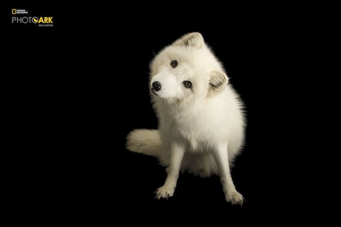 joel sartore the photo ark arctic fox