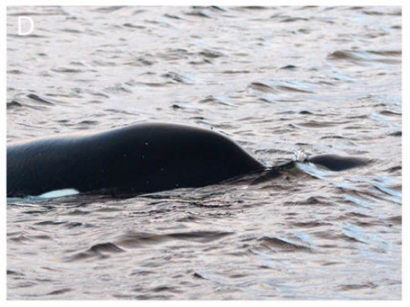 killer whale murder infanticide