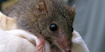 Australia, mammal, antechinus