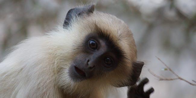 Langur Monkey at Ranthambore National Park - DSC04286