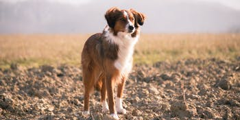 dog dogs loyal good boy