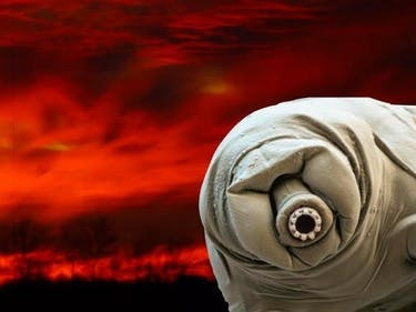 apocalypse proof tardigrade in motion water bear extremophile