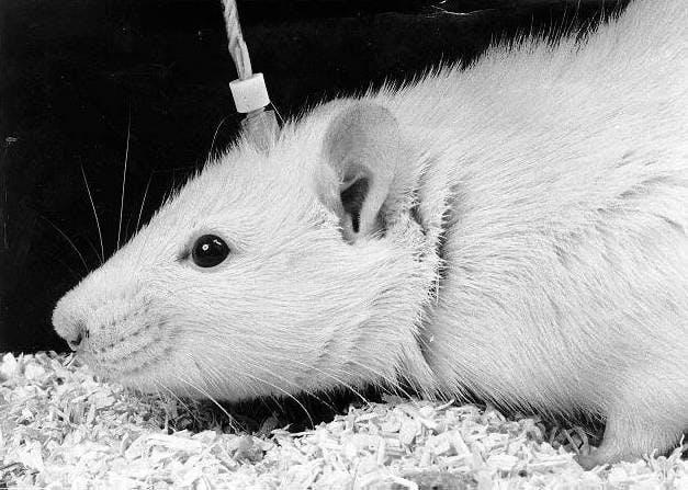 rat electrode brain