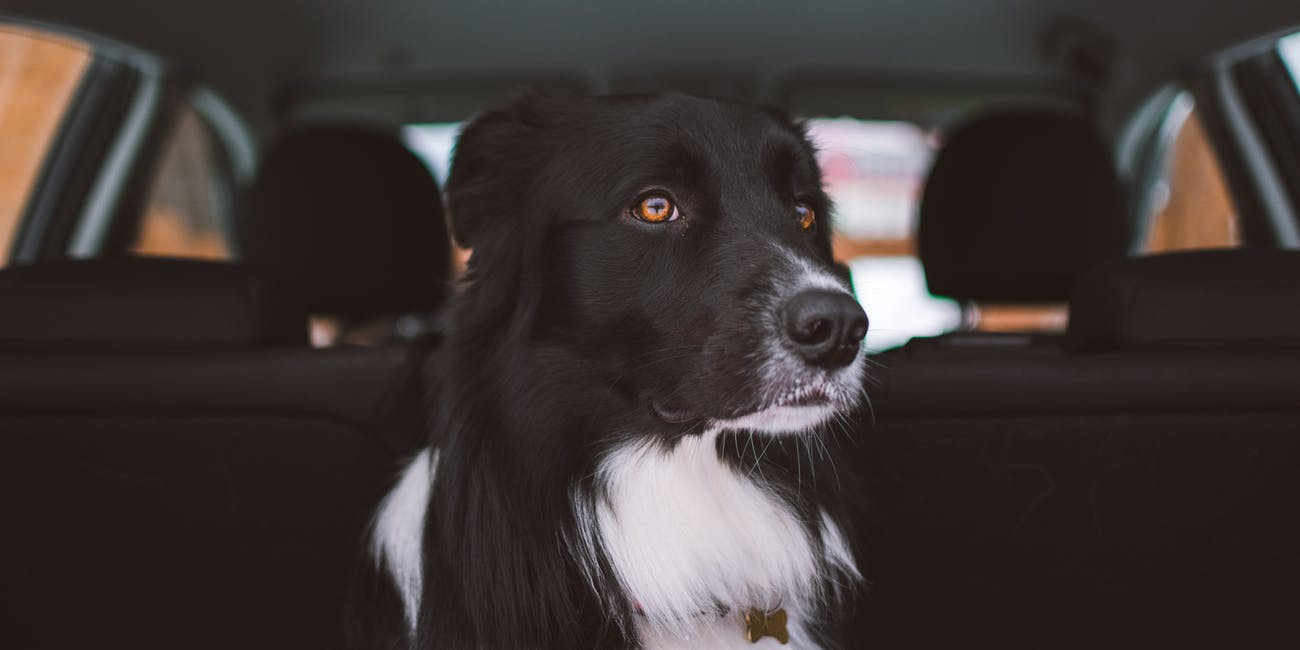 Some Dogs Hate Car Rides and Others Love Them: Here Are the Reasons Why