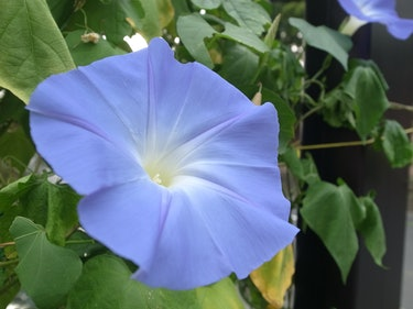 Why Chewing Morning Glory Seeds Gets You High