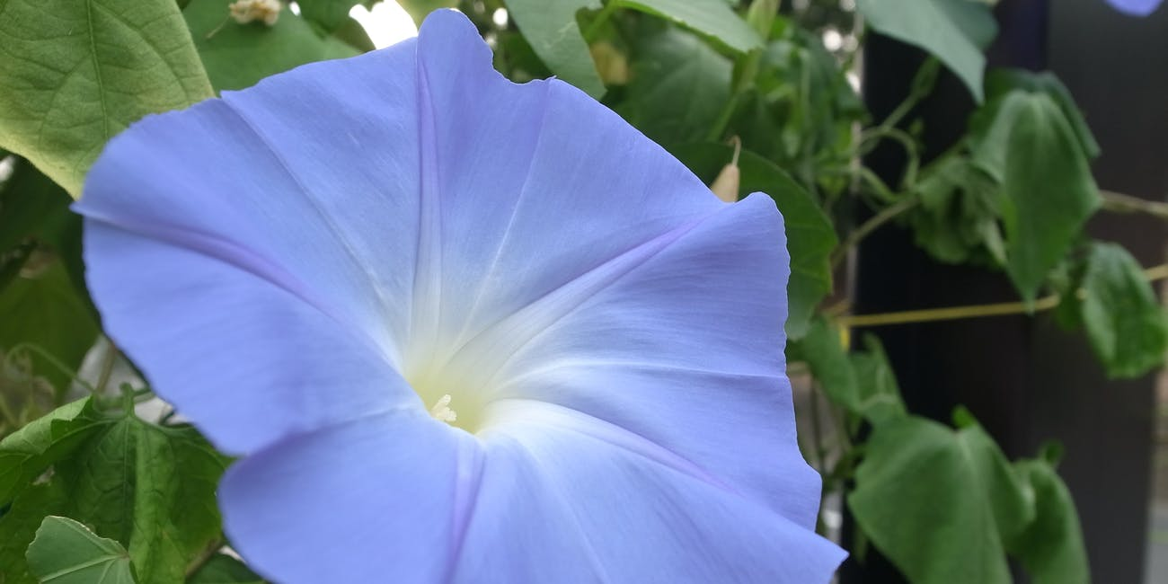 Why chewing morning glory seeds gets you high inverse morning glory flower izmirmasajfo
