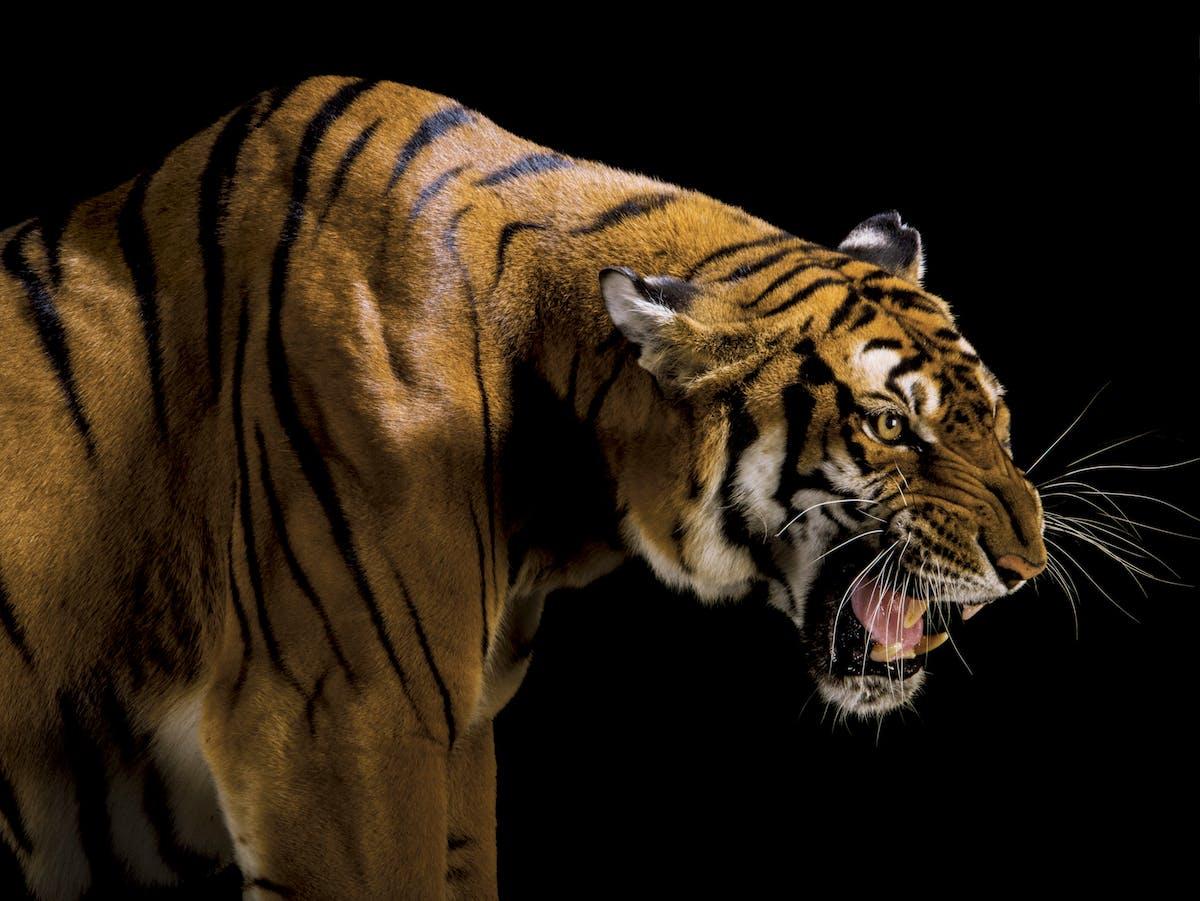 roaring South China tiger