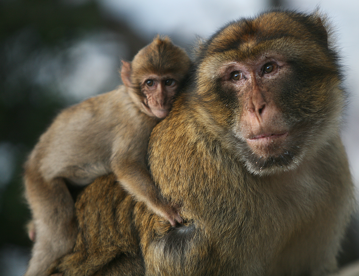 scientists start beef over ability of monkeys to talk like humans