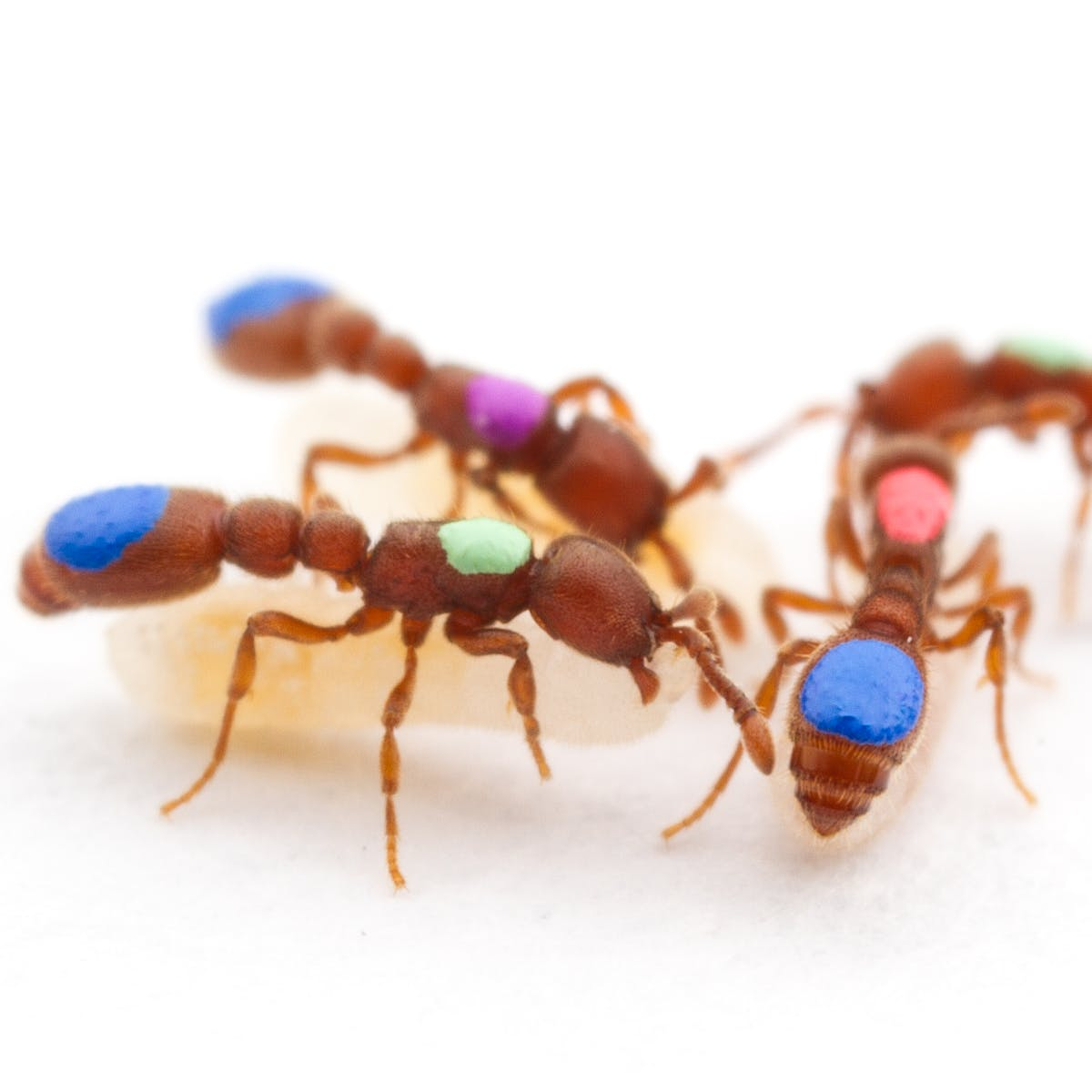 Cooperation Arises Naturally in Successful Ant Societies, Study Shows