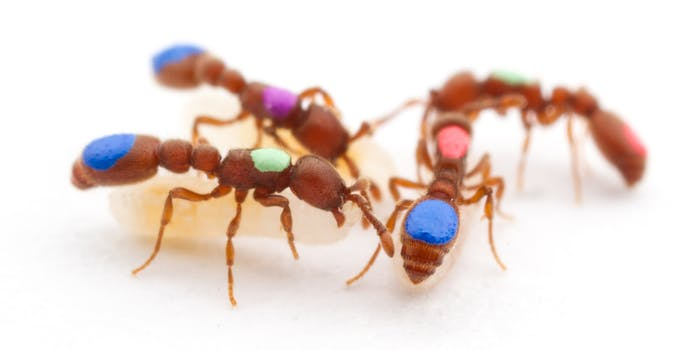 Researchers marked clonal raider ants so that they could be tracked by a computer system that helped analyze their movements.