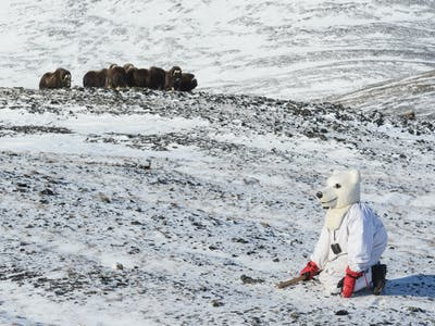 This Scientist Donned a Polar Bear Suit to Chase Muskoxen Around the Arctic