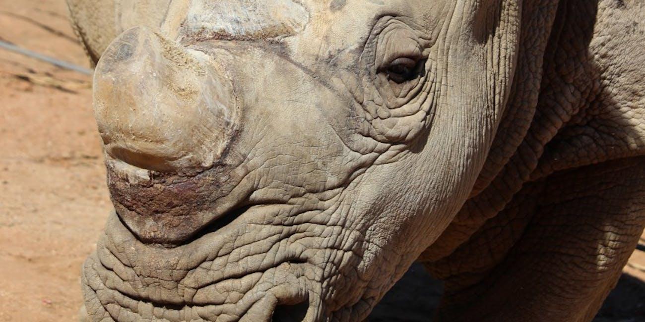 white rhino, Victoria, San Diego Zoo Safari Park