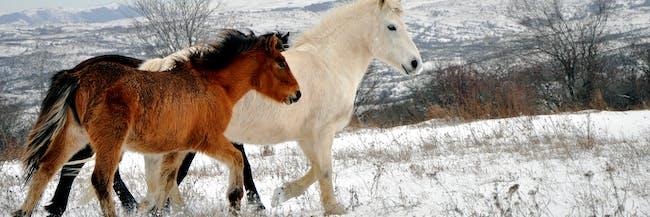 Wild horses, Šar Mountains