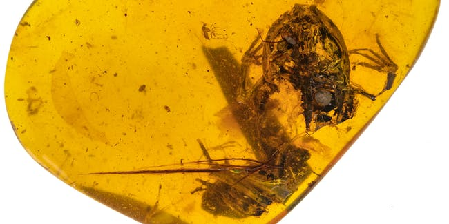 These tiny frogs got trapped in amber 99 million years ago