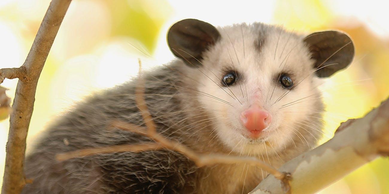 Opossum infertility science inflammation implantation womb