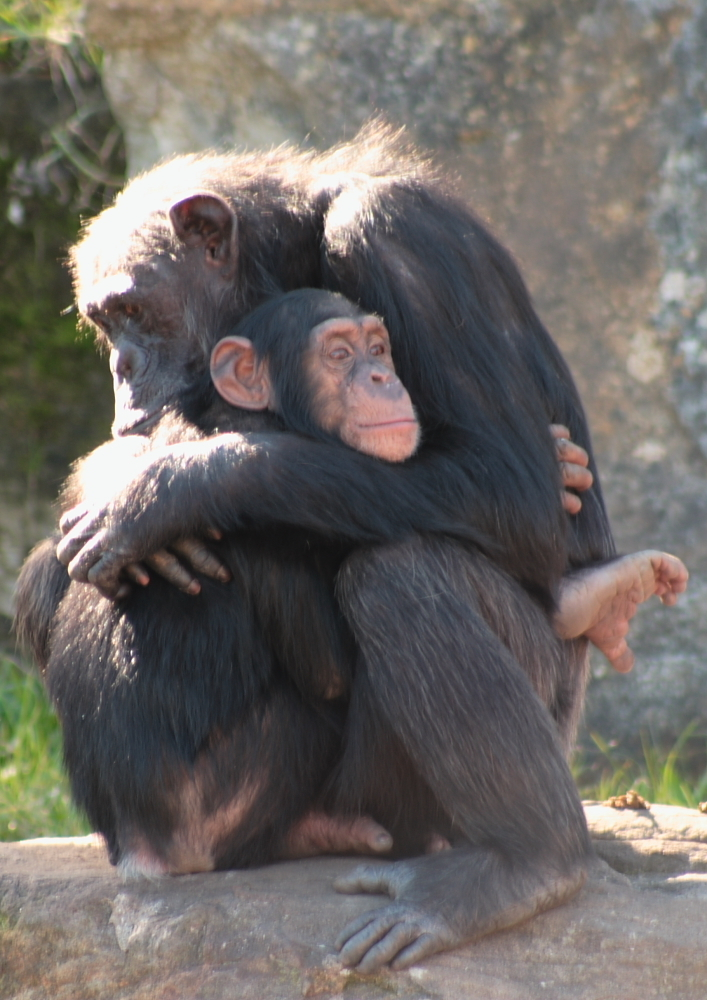 Generous Chimps Prove Humans Aren't Nature's Only Altruists