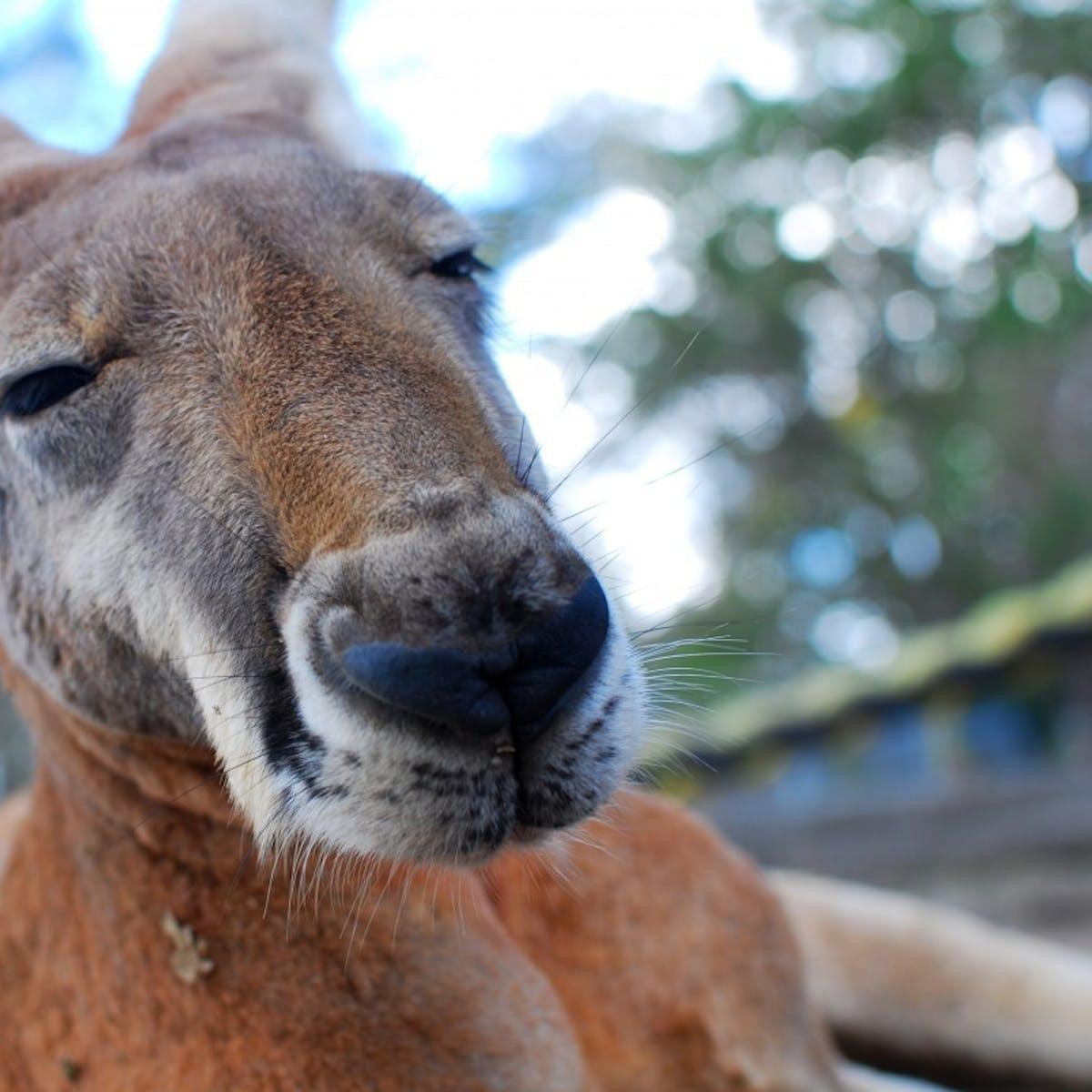 Wild Australian Grass Got Kangaroos So High They Couldn't Walk Straight