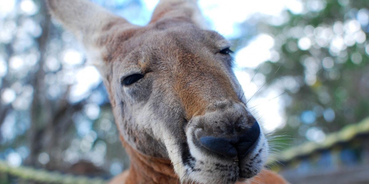 Australian Grass Got Kangaroos So High on DMT They Couldn't Walk Straight