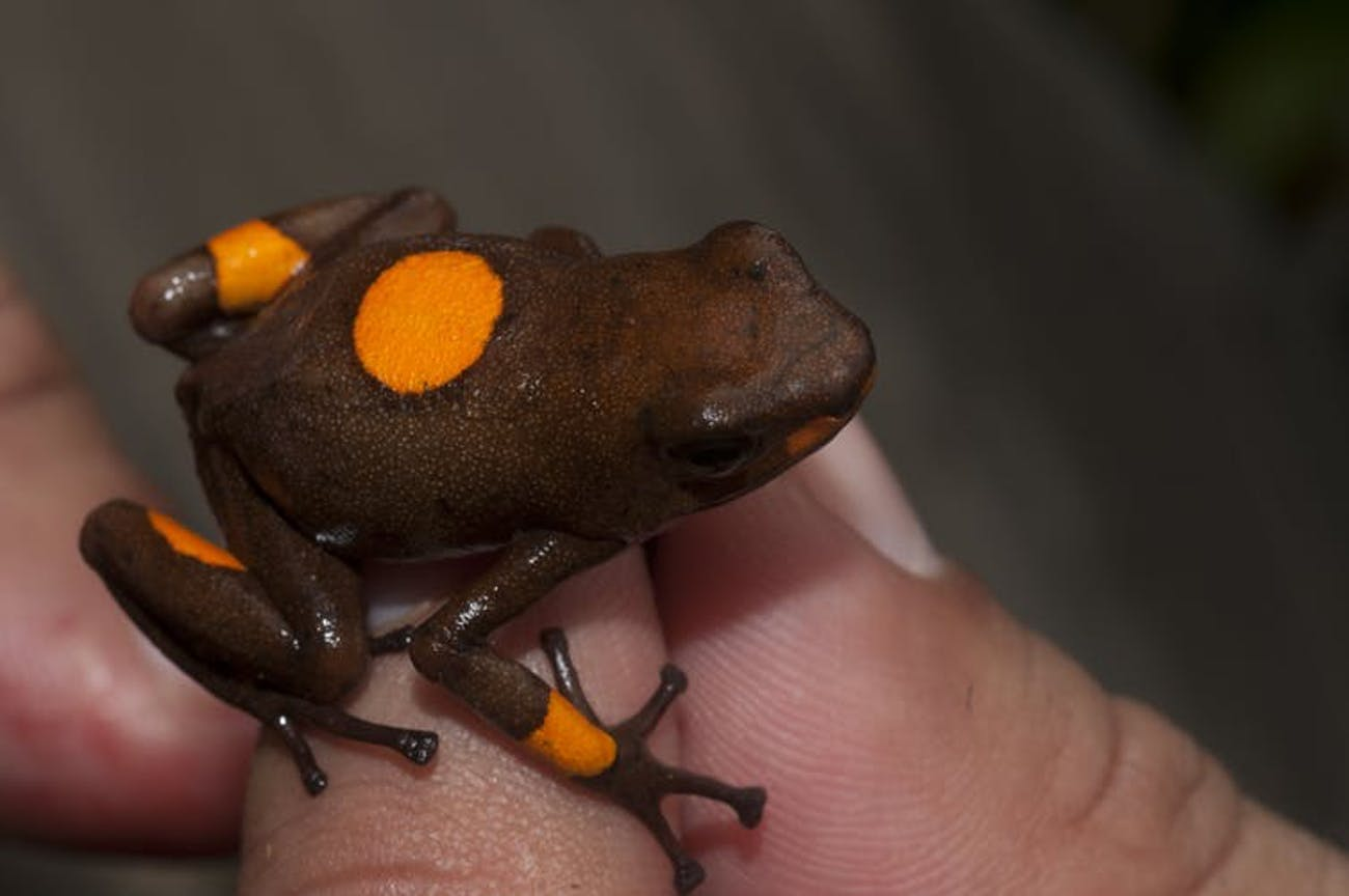 Oophaga histrionica, known as bulleye by collectors.
