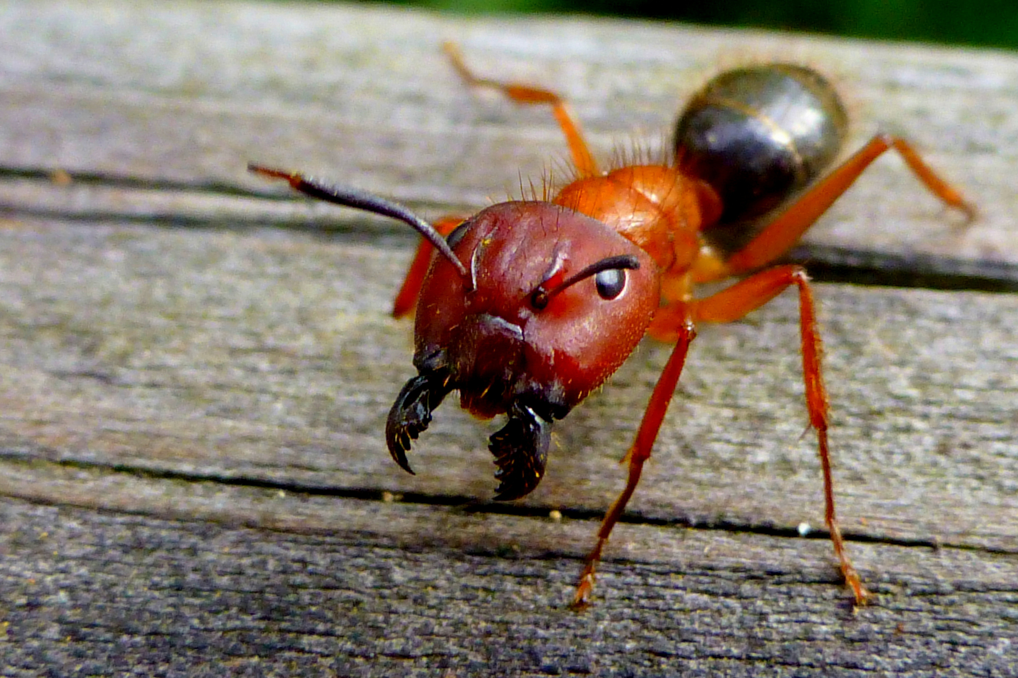 an entomologist u0027s scientific review of u0027ant man u0027 inverse