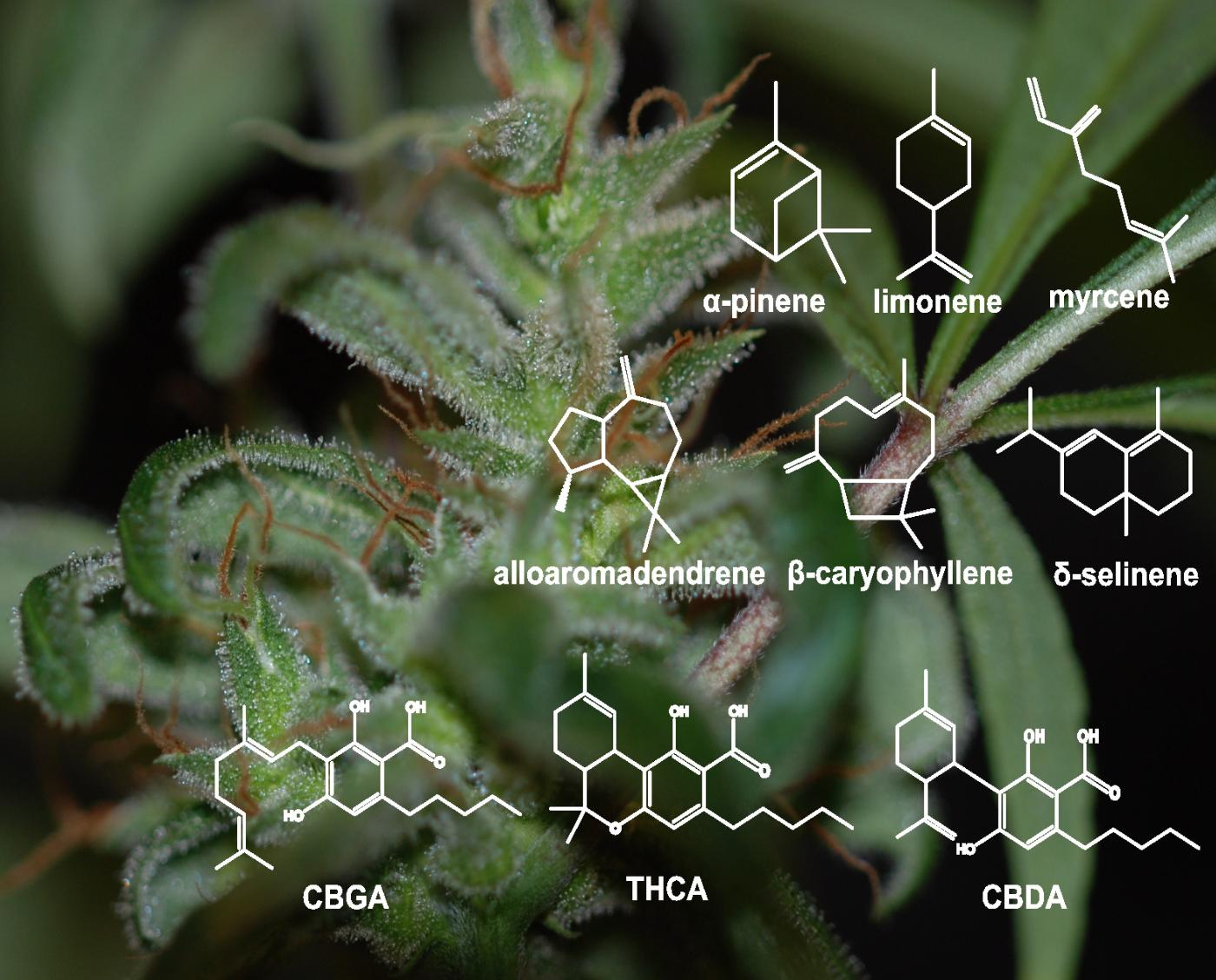 Cannabis resin components: monoterpenes (top row), sesquiterpenes (middle row), and cannabinoids (bottom row). GBGA = cannabigerolic acid; THCA = tetrahydrocannabinolic acid; CBDA = cannabidiolic acid