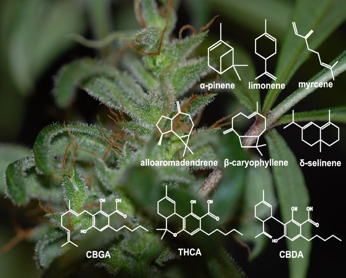 Cannabis resin components: monoterpenes (top row), sesquiterpenes (middle row), and cannabinoids (bottom row). GBGA = cannabigerolic acid; THCA = tetrahydrocannabinolic acid; CBDA = cannabidiolic acid
