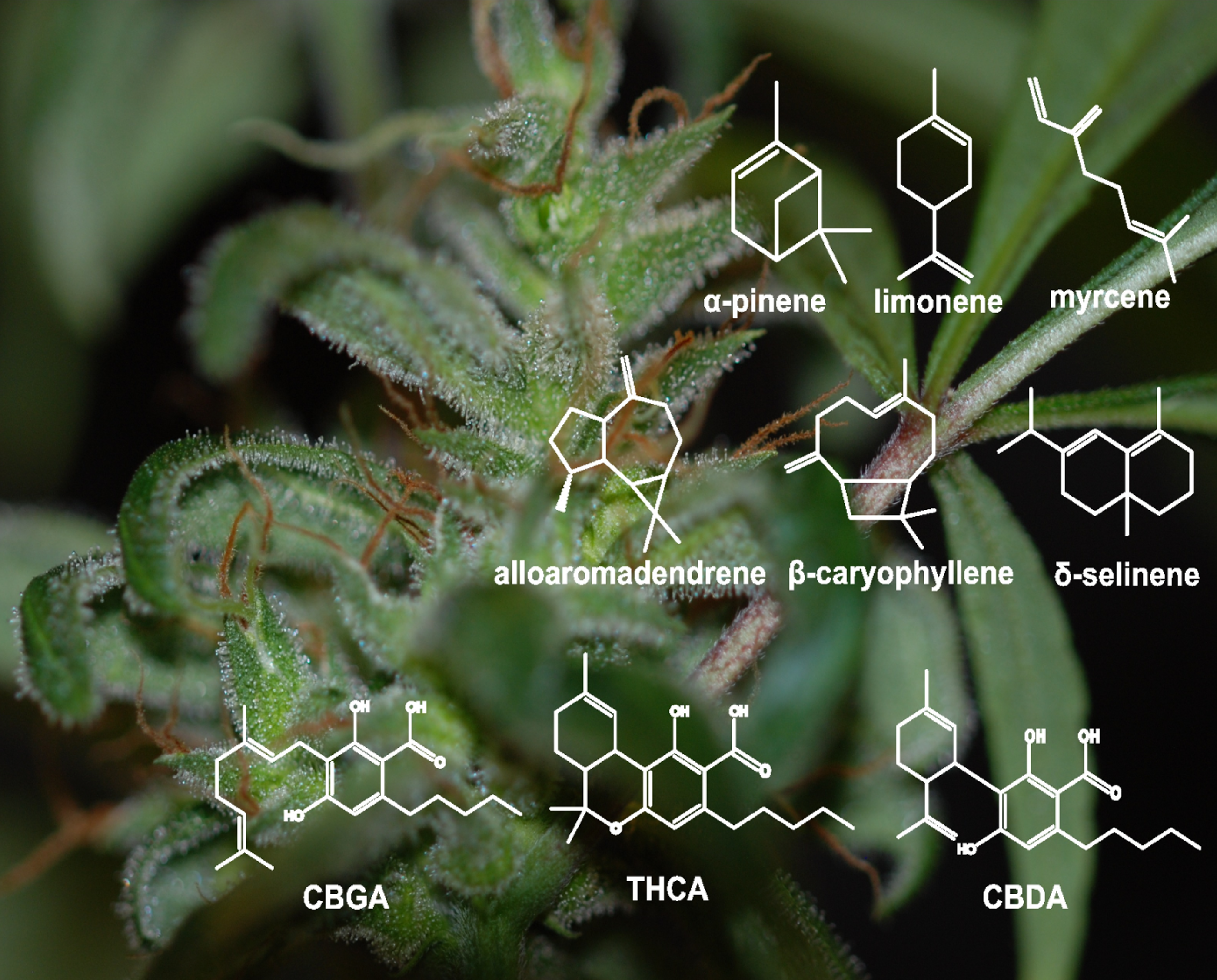 Scientists Discover the Genes Responsible for Cannabis Flavor