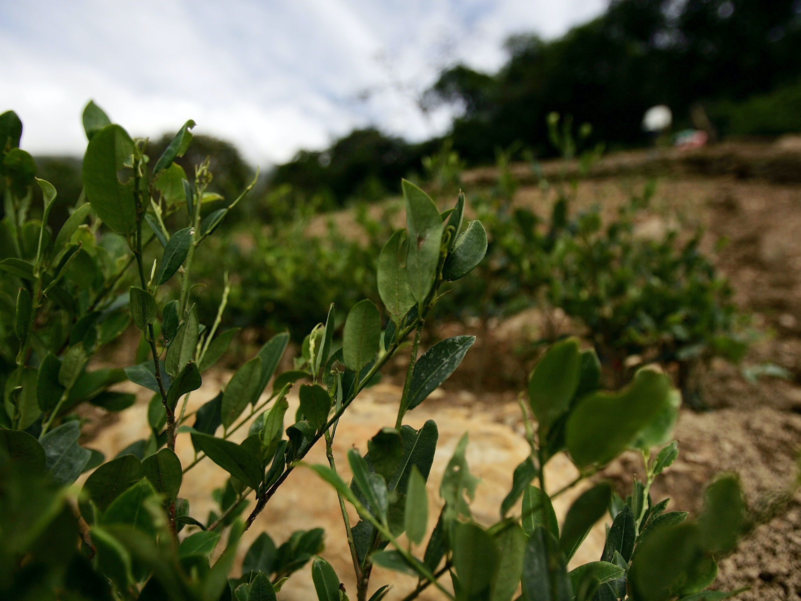Why Is Coca Leaf Left Out of the Drug Research Renaissance?