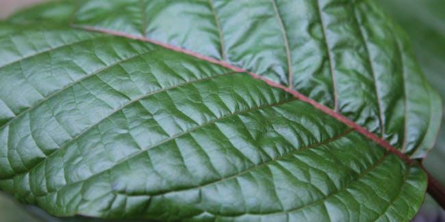 Green Kratom Leaf