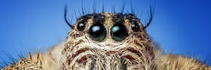 jumping spider close up big eyes