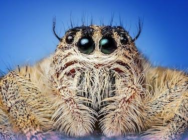 jumping spider close up big eyes
