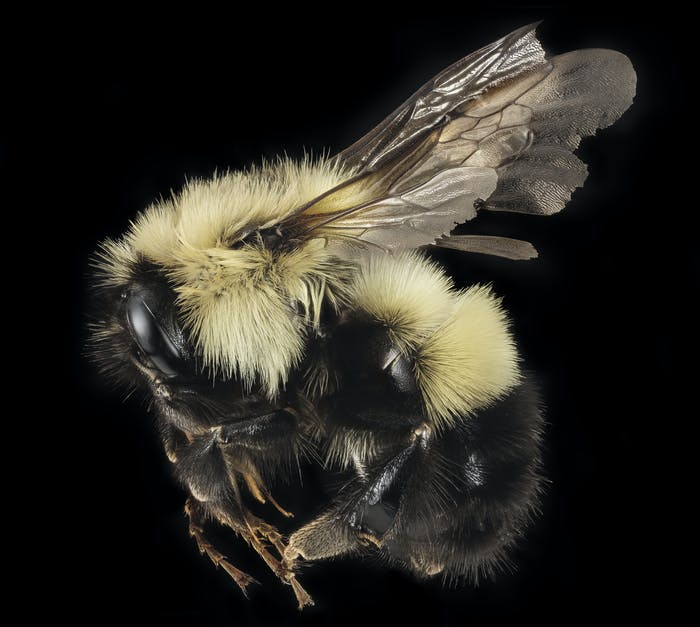 """A series of pictures of a queen and a male of the northernish bumble bee Bombus vagans. Still a reasonable common component of northern Appalachian systems, its been retreating from its lower elevation and southern edges over the last century. Whether the issues are climate change or the myriad of other factors that control what critter occurs in what place is hard to come to firm conclusions. In any case these came from a collecting expedition and Bioblitz in the Adirondack Mountains of New York. Note the long face and the first 2 abdomominal segments with yellow hairs. Plush! Photographs by Brooke Alexander.~~~~~~{{{{{{0}}}}}}~~~~~~ All photographs are public domain, feel free to download and use as you wish. Photography Information: Canon Mark II 5D, Zerene Stacker, Stackshot Sled, 65mm Canon MP-E 1-5X macro lens, Twin Macro Flash in Styrofoam Cooler, F5.0, ISO 100, Shutter Speed 200 Beauty is truth, truth beauty - that is all Ye know on earth and all ye need to know """" Ode on a Grecian Urn"""" John Keats You can also follow us on Instagram - account = USGSBIML Want some Useful Links to the Techniques We Use? Well now here you go Citizen: Art Photo Book: Bees: An Up-Close Look at Pollinators Around the World www.amazon.com/Bees-Up-Close-Pollinators-Around-World/dp/... Free Field Guide to Bee Genera of Marylandhttp://bio2.elmira.edu/fieldbio/beesofmarylandbookversion1.pdf Basic USGSBIML set up: www.youtube.com/watch?v=S-_yvIsucOY USGSBIML Photoshopping Technique: Note that we now have added using the burn tool at 50% opacity set to shadows to clean up the halos that bleed into the black background from """"hot"""" color sections of the picture. www.youtube.com/watch?v=Bdmx_8zqvN4 Bees of Maryland Organized by Taxa with information on each Genus www.flickr.com/photos/usgsbiml/collections PDF of Basic USGSBIML Photography Set Up: ftp://ftpext.usgs.gov/pub/er/md/laurel/Droege/How%20to%20Take%20MacroPhotographs%20of%20Insects%20BIML%20Lab2.pdf Google Hangout Demonstration of Te"""