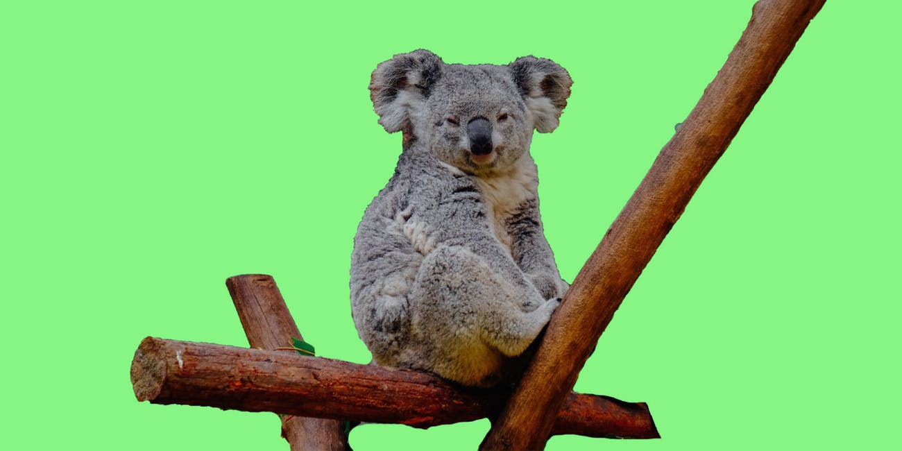 The Reason Koalas Are in Danger of Extinction | Inverse