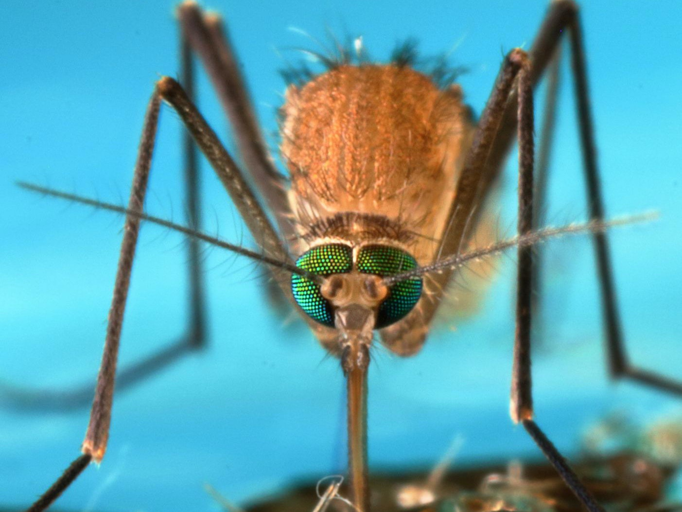 A Mosquito's Immune System May Hold the Key to Malaria