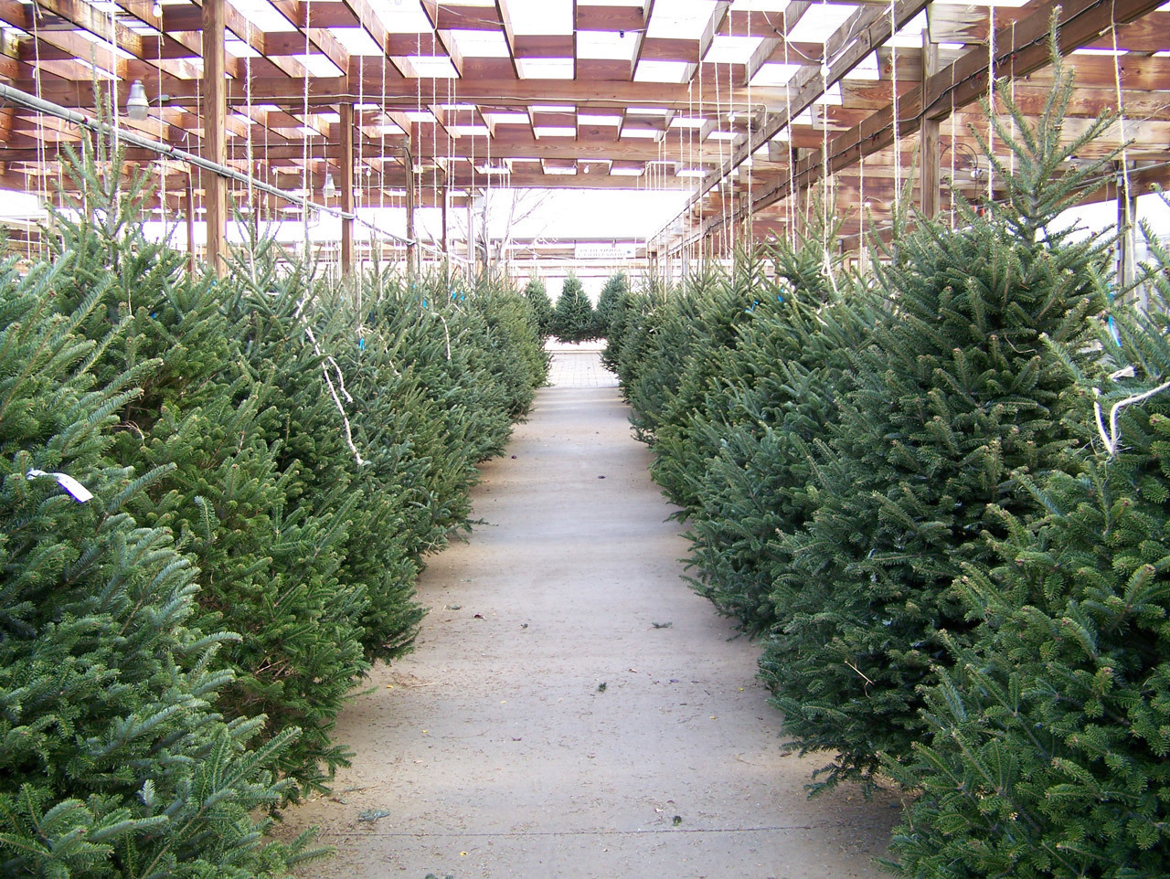 Christmas Tree Lots.How To Pick The Right Christmas Tree For You Inverse