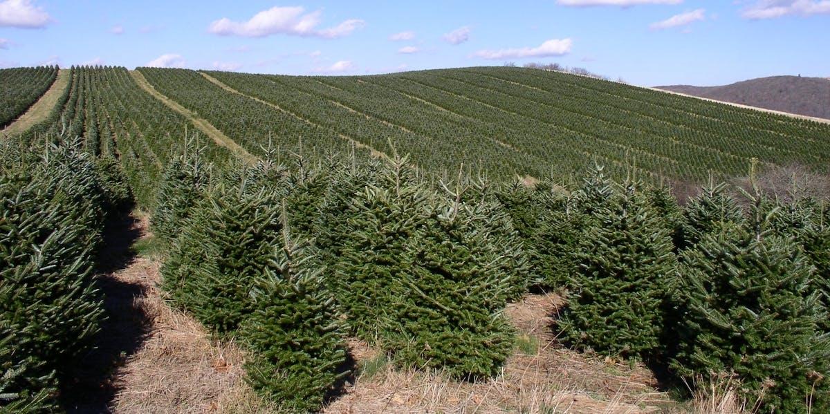 A Fraser fir Christmas tree plantation.