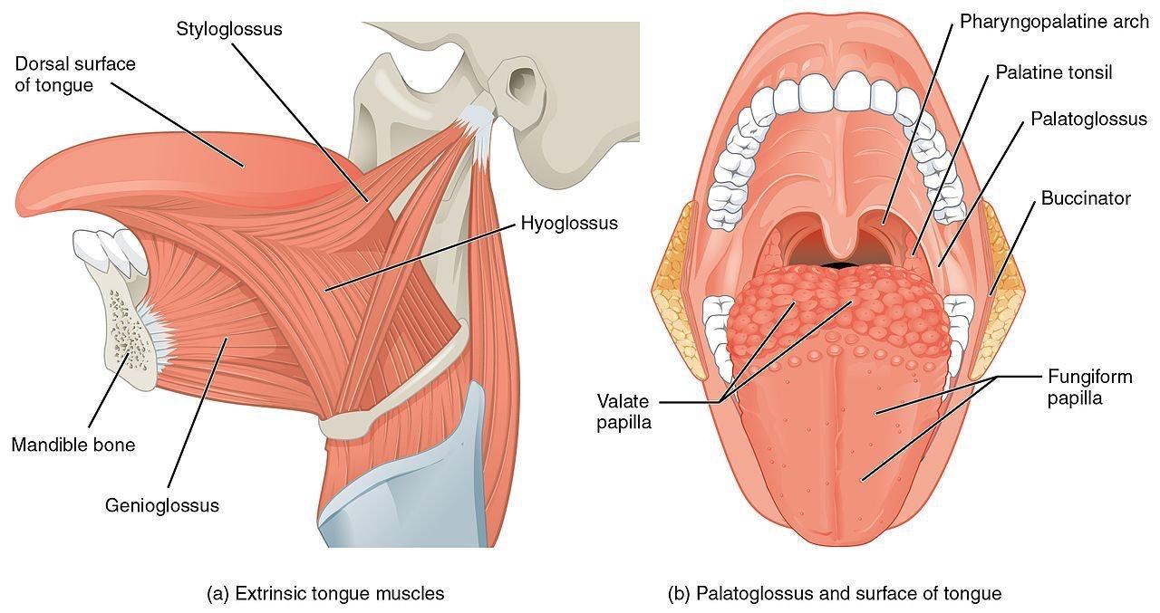 Human Anatomy 4c Diagram Of Tongue 14yonddogs