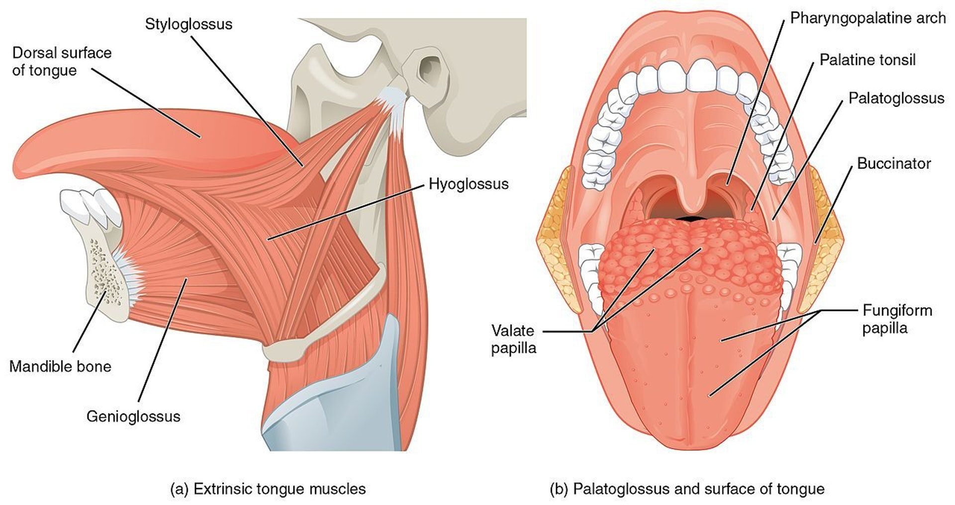 Tongue anatomy is way more complicated than you would think.