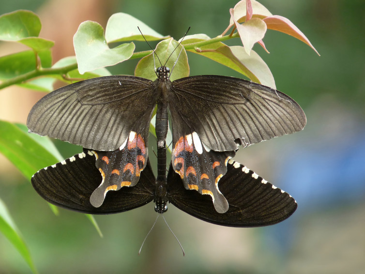 The gene doublesex produces visually obvious sexual dimorphism in the butterfly Papilio polytes, the common Mormon. Female (top), male (bottom).