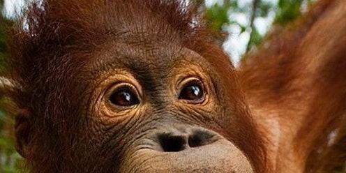An orangutan.